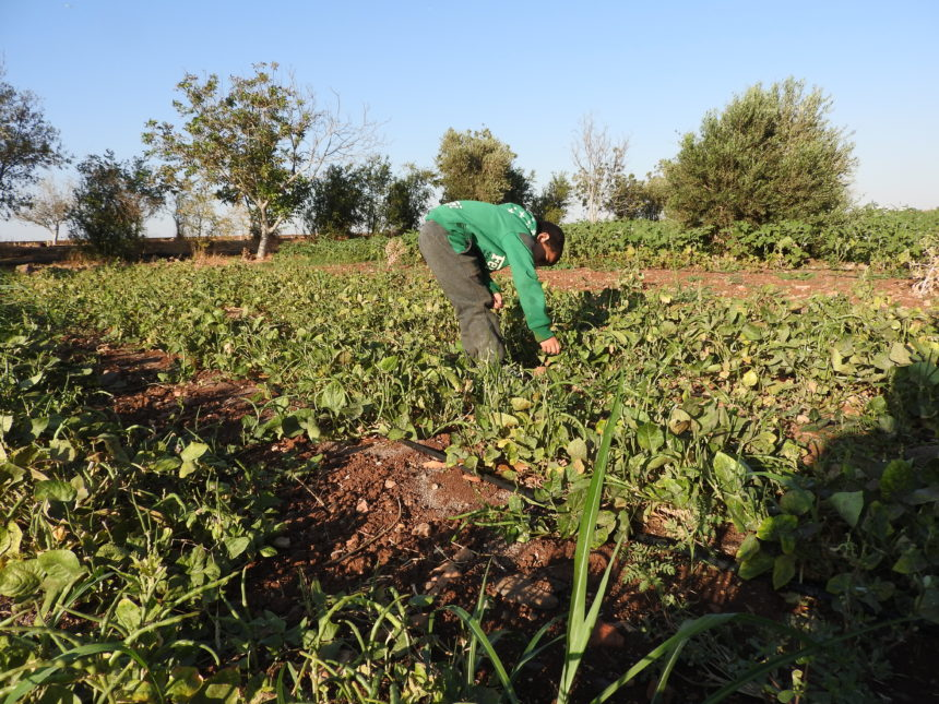 Farming support to families in Northern Rural of Homs